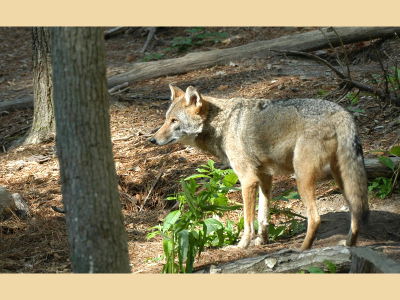 Canis latrans; Coyote